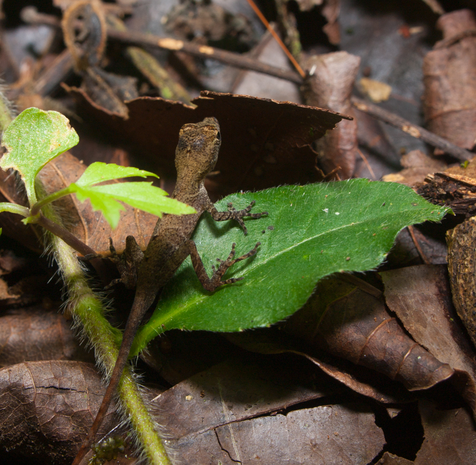 Norops polylepis - 20130705 - 1