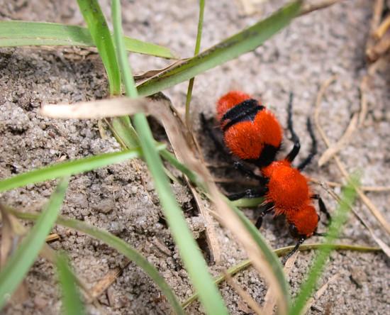 Cow Ant - Mullidae - 09.13.2013 - 13.59.54