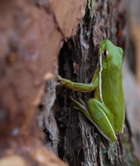 Green Treefrog - Hyla cinerea - 11.22.2014 - 14.24.04