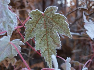 frosty-leaves-10-23-2008-8-35-31-am