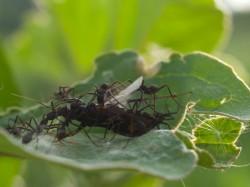 army-ant-invasion-at-catalina-wetland-05212009-165117