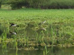 black-necked-stilt-himantopus-mexicanus-05292009-083554
