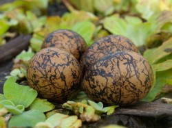 Figure 1 - Jacana nest with 4 eggs