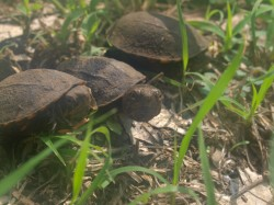 kinosternon-scropioides-orange-cheeked-mud-turtle-hatchlings-05292009-092041