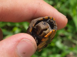 kinosternon-scropioides-orange-cheeked-mud-turtle-hatchlings-05292009-092056-2