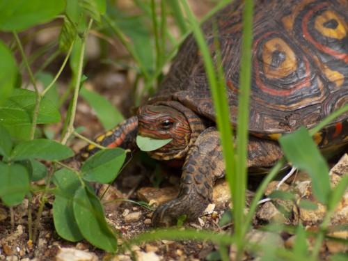 painted-wood-turtle-rhinoclemmys-pulcherrima-05152009-082309