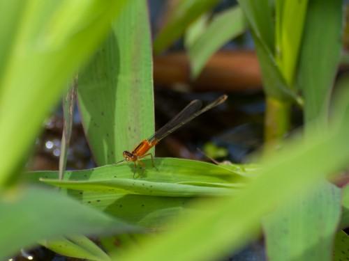 resting-damslefly-05102009-100826