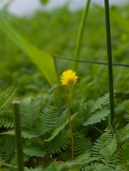 Fabaceae - Neptunia prostrata (natans) - Flower - 06.29.2009 - 08.08.58