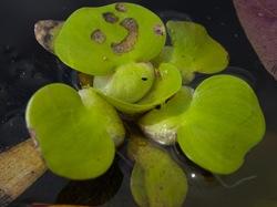 Pontederiaceae - Eichhornia crassipes - Water hyacinth - 06.29.2009 - 10.06.08