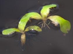 Pontederiaceae - Eichhornia crassipes - Water hyacinth - 06.29.2009 - 10.08.15