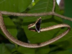 Brown vinesnake - Oxybelis aeneus - 07.11.2009 - 11.14.42