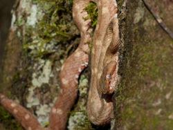 Eyelash Pit-viper - Bothriechis schlegelii - 07.14.2009 - 15.53.33