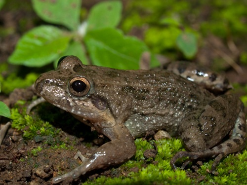 Fring-toad Rainfrog - Leptodactylus melanonotus - 06.14.2009 - 13.52.48