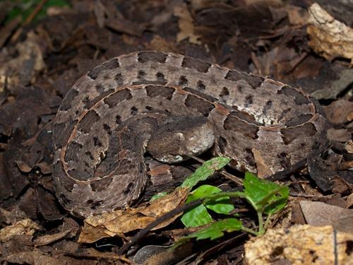 Hog-nosed pit-viper - Porthidium nasutum - 07.11.2009 - 12.03.08