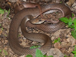 Neotropical Whipsnake - Colubridae - Coluber mentovarius - 06.28.2009 - 13.20.39