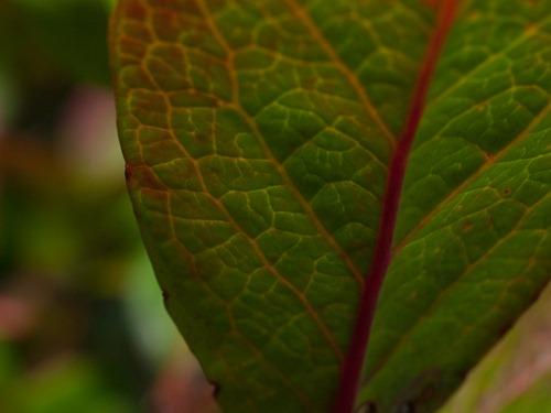 Highbush blueberry - 09.04.2009 - 15.27.36