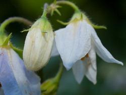 Solanaceae - Solanum dulcamara - Bittersweet Nightshade - 09.04.2009 - 15.09.40