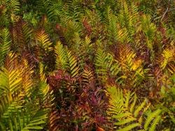 Woodwardia virginiana - Virginia Chain Fern - 09.13.2009 - 09.25.22