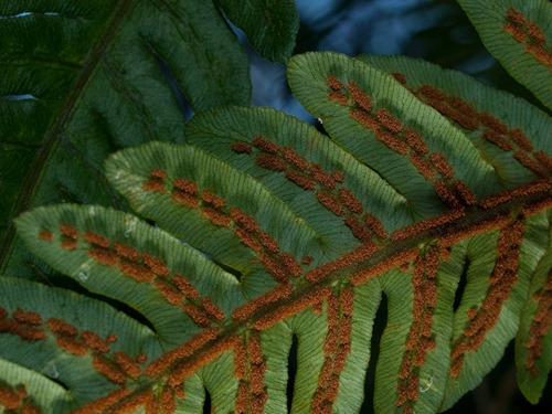 Woodwardia virginica - Virginia chain fern - 09.04.2009 - 15.33.36
