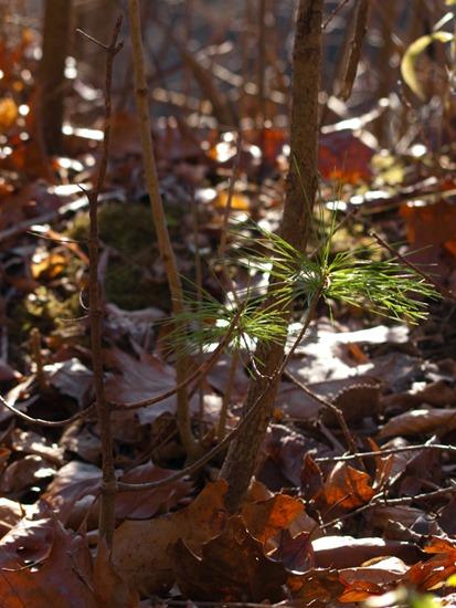 Time Lapse Pine Tree - 11.08.2009 - 09.58.55