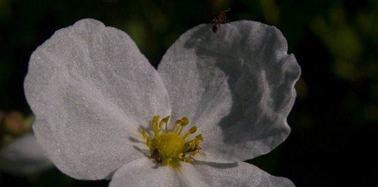 Alismataceae - Echinodorus paniculatus flowers - 06.12.2010 - 08.07.47