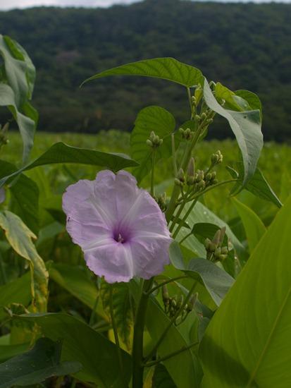 Convolvulaceae - Ipomoea carnea  - 06.15.2010 - 08.34.23