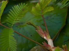 Neptunia prostrata growth - 06.12.2010 - 08.50.29