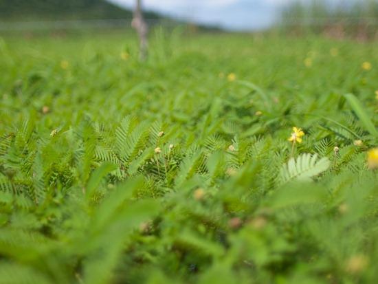 Neptunia prostrata growth - 06.12.2010 - 13.49.29