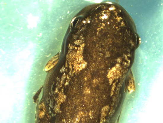 Bufonidae - Incilius (Bufo) luetkenii - metamorph - 07.04.2010 - 14.37.28