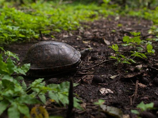 Geomydidae - Rhioclemmys pulcherrima - Painted wood turtle - 07.14.2010 - 09.59.05