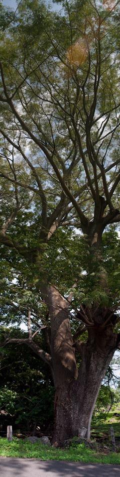 Guanacaste Tree - 06.30.2010 - 13.38.21_stitch
