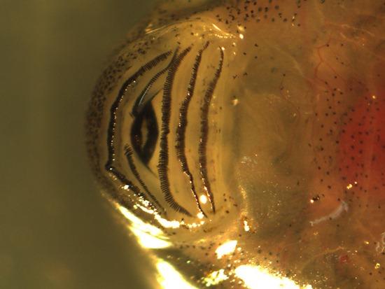 Leptodactylidae - Leptodactylus melanonotus - tadpole mouth - 07.04.2010 - 15.55.54