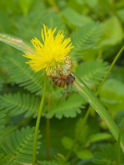Neptunia prostrata and pollination - 07.04.2010 - 07.59.35