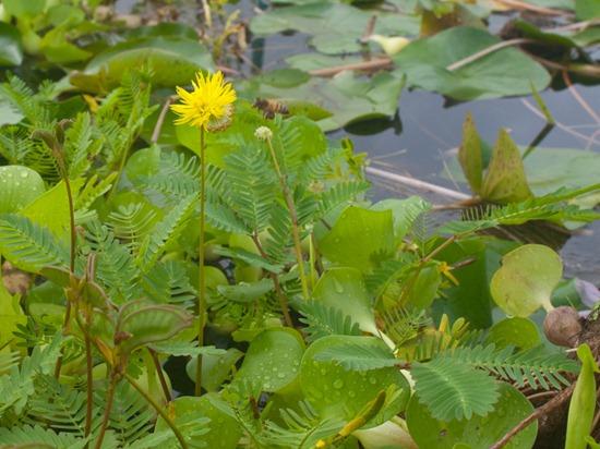 Neptunia prostrata and pollination - 07.04.2010 - 08.00.19