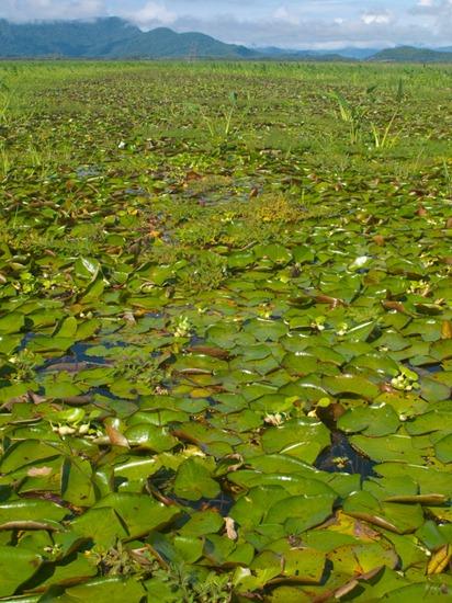 Nyphaeaceae - Nyphaea amazonum - 06.23.2010 - 08.27.47