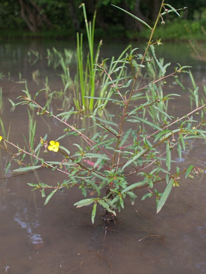 Onagraceae - Ludwigia erecta - 06.30.2010 - 09.45.14