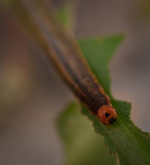 Thalia skipper larvae - Hesperiidae - 09.15.2010 - 19.35.21