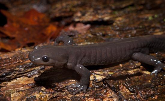 Jefferson Salamander - Ambystoma jeffersonianum - 03.09.2011 - 21.38.57