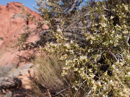 Apache plume - Fullugia paradoxa - Rosaceae - 05.03.2012 - 18.19.47