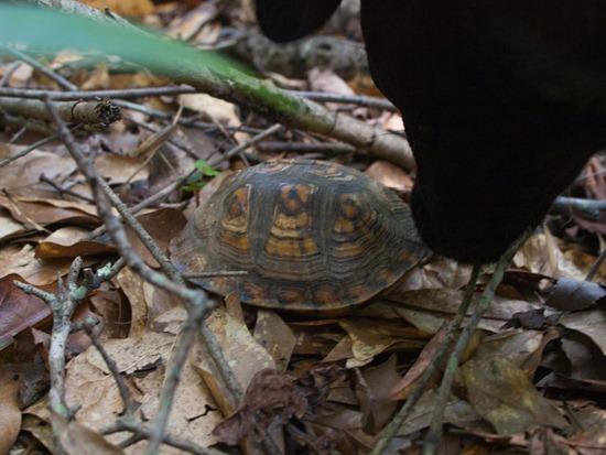 Eastern Box Turtle - Terrapene carolina carolina - 05.27.2012 - 10.50.39