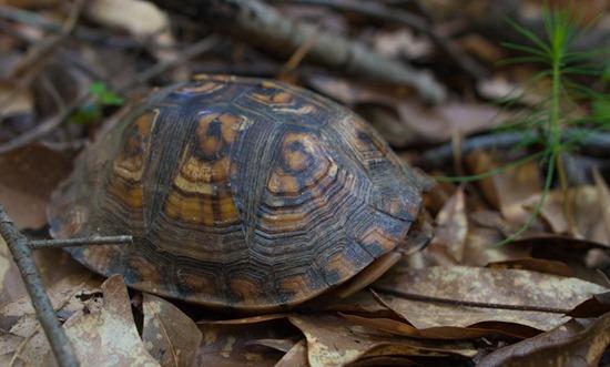 Eastern Box Turtle - Terrapene carolina carolina - 05.27.2012 - 10.53.49