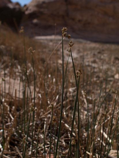 Juncaceae - Juncus mexicanus (balticus) - Baltic Grass - 05.03.2012 - 19.47.29