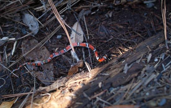 Dead milk snake - Lampropeltis triangulum - 06.02.2012 - 18.44.06