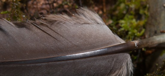 Nerd fact: Striations on the mid-rib suggest that this comes from a tinamou.