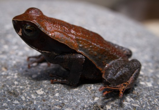 Leaf-litter Toad - Rhaebo (Bufo) haematiticus - 20130618 - 3