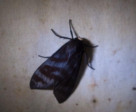 Moth black light - 20130629 - 1