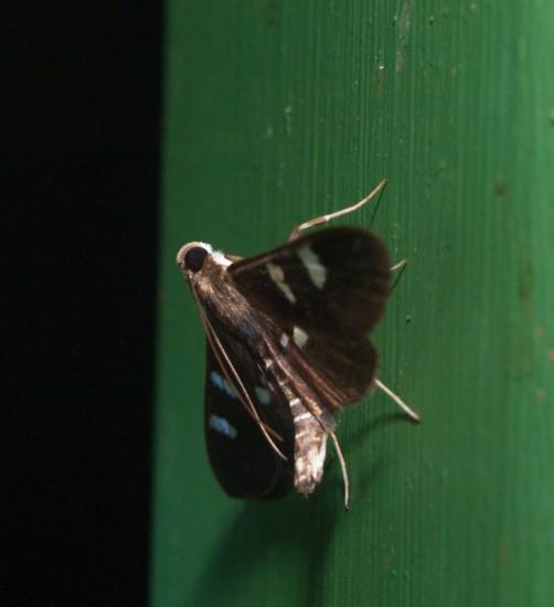Moth black light - 20130629 - 11