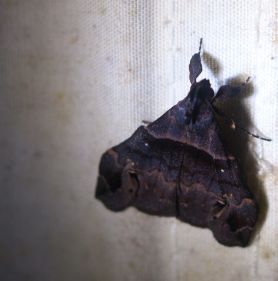 Moth black light - 20130629 - 2