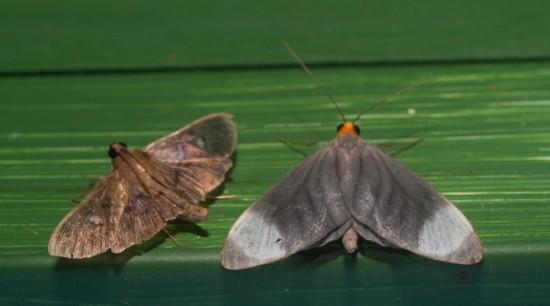 Moth black light - 20130629 - 6