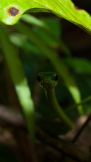 Satiny Parrot Snake - Leptophis sp. (ahaetulla or depressirotris) - 20130617 - 5